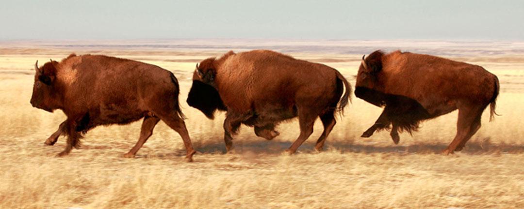 Buffalo Running http://www.tatonkare.com/